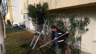 Sitemizde ağaç budamaları devam ediyor